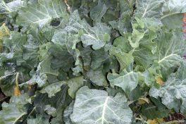 Cabbage Perennial Couve Tronchuda