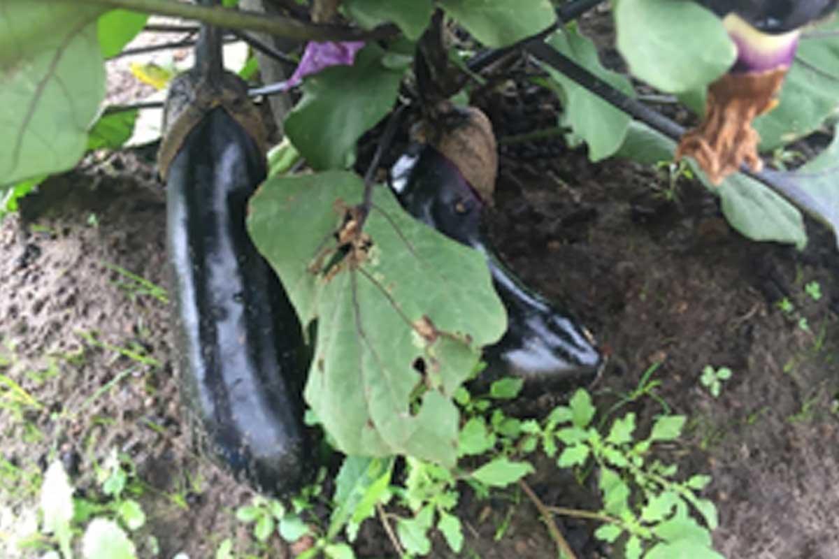 Millionaire Eggplant